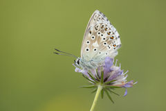 Chalkhill Blue Stock Image