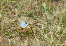 Chalkhillblauw, Lysander coridon Stock Foto's
