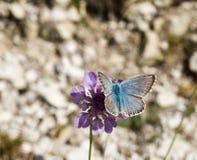 Chalkhillblauw, Lysander coridon Stock Foto