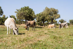Chalkidiki cows Stock Photography
