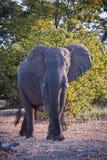 Challenging Elephant Stock Image