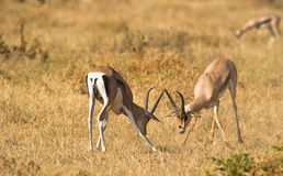 Challenging male Grant´s Gazelles Stock Photography