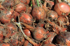 Chalotes recién cosechados Fotografía de archivo libre de regalías