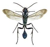 Chalybion bengalense,一个外籍人泥黄蜂 免版税库存照片
