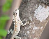 Chamäleon auf dem Baum auf Naturhintergrund Stockfoto