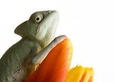 Chamäleon auf Tulpe Lizenzfreies Stockfoto