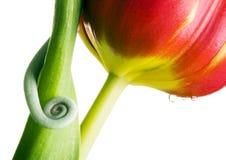 Chamäleon auf Tulpe Stockfoto