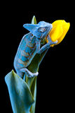 Chamäleon, das auf einer Tulpe sitzt Stockfoto