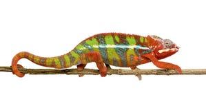 Chamäleon Furcifer Pardalis - Ambilobe (18 Monate) Lizenzfreie Stockbilder