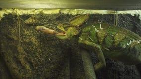 Chamäleon im Glasterrarium Zeitlupechamäleon, das springt, um Schmetterling zu fangen stock video footage