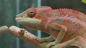 Chamäleon-Tarnungs-Reptil stock footage