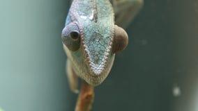 Chamäleon-Tarnungs-Reptil auf einer Niederlassung stock video