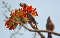 Chama do monosperma do Butea da floresta na flor completa em Dhaka, Bangladesh Fotos de Stock Royalty Free