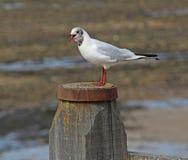 Chamada da gaivota Foto de Stock