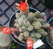 Chamaecereus de Echinopsis, cactus del cacahuete Imagenes de archivo