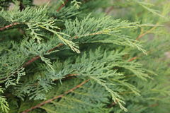 Chamaecyparis or false cypress Stock Photography