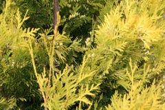 Chamaecyparis oder falsche Zypresse Stockfoto
