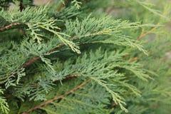 Chamaecyparis oder falsche Zypresse Stockfotografie