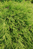 Chamaecyparis (Pisifera filifera gracilis). Chamaecyparis is genus of conifers in the family Cupressaceae, native to eastern Asia and western and eastern North Stock Photo