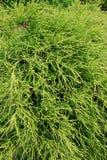 Chamaecyparis (Pisifera filifera zart) Stockfoto