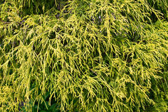 Chamaecyparis pisifera royalty free stock image
