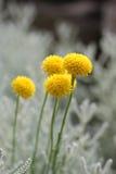 Chamaecyparissus del Santolina Fotografia Stock