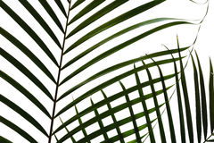 Chamaedorea叶子 免版税库存图片