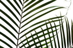 Chamaedorea blad Royaltyfria Bilder
