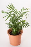 Chamaedorea house plant Stock Photo