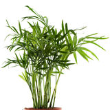 Chamaedorea plant Stock Images
