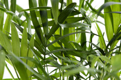 Chamaedorea plant Royalty Free Stock Photo