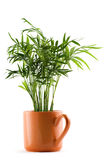 Chamaedorea plant Royalty Free Stock Images