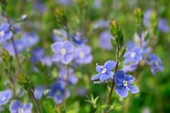 Chamaedrys de Veronica dans l'herbe verte photos libres de droits