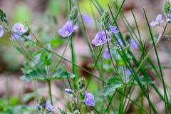 Chamaedrys de Veronica, fleurs bleues de véronique de germander petites images libres de droits