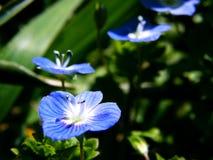 chamaedrys veronica Fotografia Stock