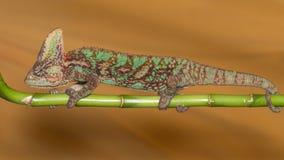 Chamaeleo calyptratus Stock Photo