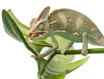 Chamaeleo calyptratus. A Chamaeleo calyptratus, eating cricket Stock Images
