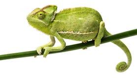Chamaeleo calyptratus - female. Chamaeleo calyptratus, female isolated on white Royalty Free Stock Image