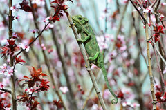 Chamaeleo chamaeleon. Hunting and waiting for his prey Royalty Free Stock Images