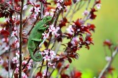 Chamaeleo chamaeleon hunting Stock Photo
