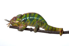 Chamaeleon. In front of white background, eating a grasshopper Royalty Free Stock Photo