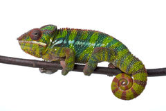 Chamaeleon. In front of white background Stock Photo