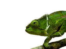 Chamaeleon Royalty Free Stock Photography