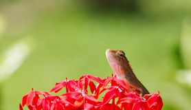 Chamaeleon Royalty Free Stock Images