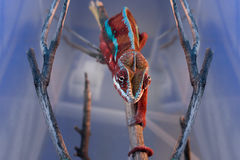 Chamaeleon pardalis crawling on a branch. Chamaeleon on the branch in the terrarium Stock Image