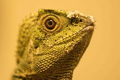 Chamaeleontinus de Forest Dragon Gonocephalus de caméléon photo stock