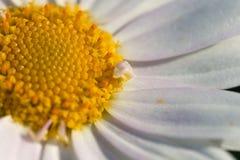 Chamaemelum fuscatum 免版税库存照片