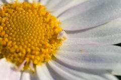 Chamaemelum fuscatum. Chamaemelum is a small genus of plants in the daisy family commonly known as chamomiles or dogfennels. Perhaps the best-known species is Royalty Free Stock Photo