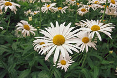 `Chamaemelum nobile` commonly known as chamomile also spelled camomile. `Chamaemelum nobile` is, along with `Matricaria chamomilla`, an important source of the royalty free stock images