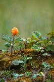 Chamaemorus d'isolement Laponie, Finlande de Rubus de faux mûrier photos stock
